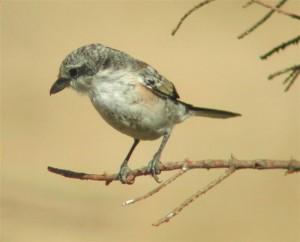 Masked Shrike (juvenile)